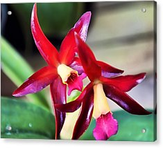 Intrageneric Brassia Hybrid Orchid Acrylic Print by Chris Flees