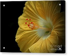 Invitation To Beauty Hibiscus Flower  Acrylic Print by Inspired Nature Photography Fine Art Photography