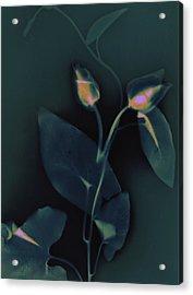 Ipomena Acrylic Print by Susan Leake
