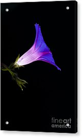 Ipomoea Morning Glory Acrylic Print by Tim Gainey