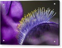 Iris Beard Acrylic Print