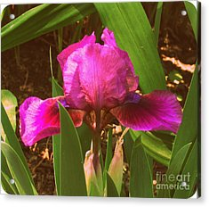 Iris Acrylic Print by Christy Beal