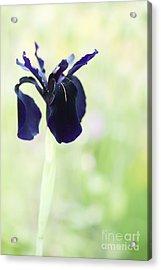 Iris Chrysographes Black Form Acrylic Print by Tim Gainey