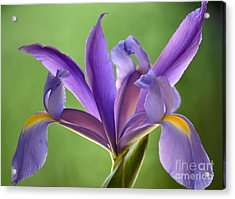 Iris Elegance Acrylic Print by Deb Halloran