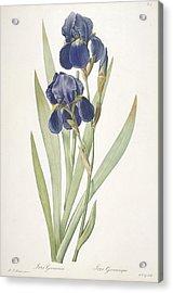 Iris Germanica Bearded Iris Acrylic Print by Pierre Joseph Redoute