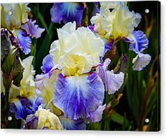 Acrylic Print featuring the photograph Iris In Blue And Yellow by Patricia Babbitt