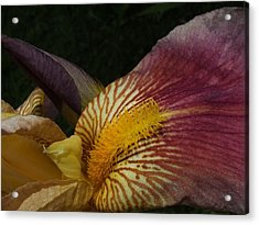 Acrylic Print featuring the photograph Iris In Pink And Yellow by Gene Cyr
