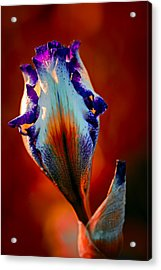 Iris In Red Acrylic Print