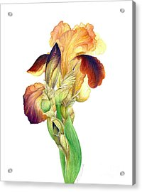 Iris Indian Chief / Sold Acrylic Print