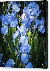 Iris 'jane Phillips' Acrylic Print by Gerry Walden