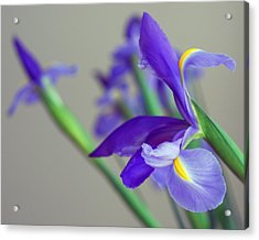 Iris Acrylic Print by Lisa Phillips