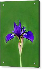 Iris Acrylic Print by Marion Johnson