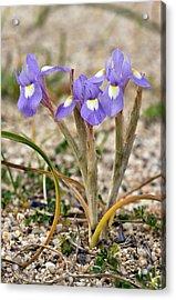 Iris (moraea Sisyrinchium 'barbary Nut') Acrylic Print by Bob Gibbons