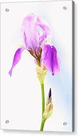 Iris On A Sunny Day Acrylic Print
