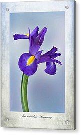 Iris Reticulata Acrylic Print