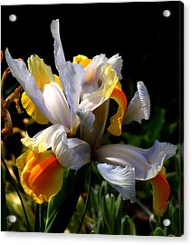 Iris Acrylic Print by Rona Black