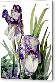 Watercolor Of A Tall Bearded Iris In Violet And White I Call Iris Selena Marie Acrylic Print