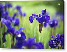 Iris Sibirica Shirley Pope Acrylic Print