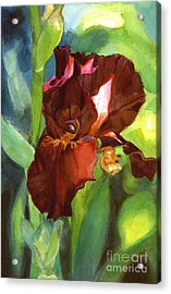 Watercolor Of A Tall Bearded Iris In Sienna Red Acrylic Print