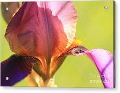 Iris Study 6 Acrylic Print