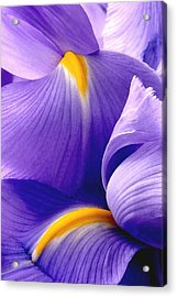 Iris Vi Acrylic Print
