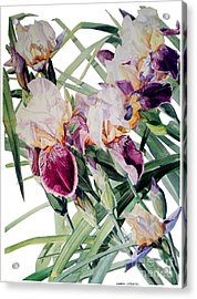 Watercolor Of Tall Bearded Irises I Call Iris Vivaldi Spring Acrylic Print