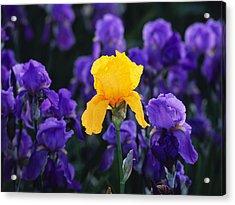 Iris Xxiii Acrylic Print