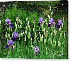 Irises Along The Fence Acrylic Print