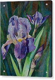 Irises Acrylic Print by Barbara Carswell