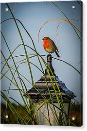 Irish Robin Perched On Garden Lamp Acrylic Print
