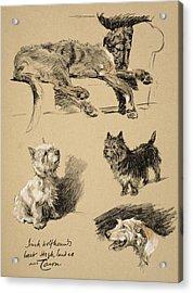 Irish Wolfhound, West Highlander Acrylic Print by Cecil Charles Windsor Aldin