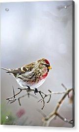 Irruptive Bird Common Redpoll Acrylic Print by Christina Rollo