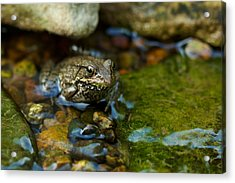 Acrylic Print featuring the photograph Is There A Prince In There? - Frog On Rocks by Jane Eleanor Nicholas