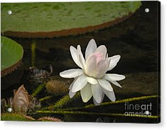 Ischian Water Lily Acrylic Print