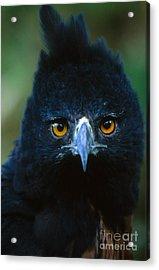 Isidoris Eagle Acrylic Print by Art Wolfe
