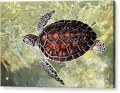Island Turtle Acrylic Print by Carey Chen