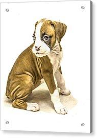 Isolated Boxer Puppy Acrylic Print by Tony Moran