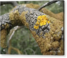 Isolated Lichen Acrylic Print