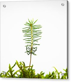 Isolated Spruce Seedling Acrylic Print by Kennerth and Birgitta Kullman