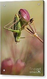 Isophya Savignyi - Bush Cricket Acrylic Print by Alon Meir