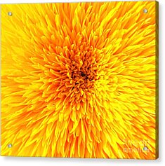 Italian Sunflower Detail Acrylic Print by C Lythgo