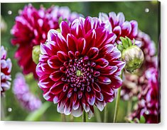 Its A Dahlia Dahling Acrylic Print by CarolLMiller Photography