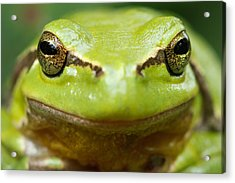It's Not Easy Being Green _ Tree Frog Portrait Acrylic Print by Roeselien Raimond