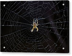 Itsy Bitsy Spider My Ass 2 Acrylic Print by Steve Harrington