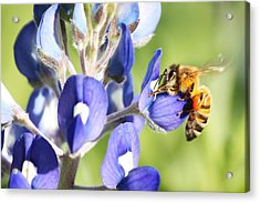 I've Got A Bee In My Bluebonnet Acrylic Print by Lorri Crossno
