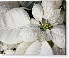 Ivory Poinsettia Christmas Flower Acrylic Print by Jennie Marie Schell