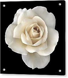 Ivory Rose Flower Portrait Acrylic Print by Jennie Marie Schell