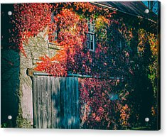 Ivy Covered Barn Acrylic Print