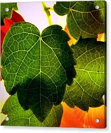 Ivy Light Acrylic Print by Chris Berry