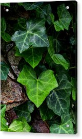 Ivy Over Rocks Acrylic Print
